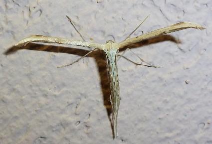 Ptérophore commun