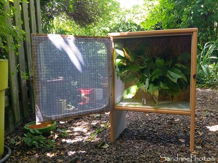 Fabrication d`une nouvelle boîte d`élevage pour chenilles de Grands paons de nuit, Satunia pyri, Saturniidae, papillons de nuit, Bouresse (8)