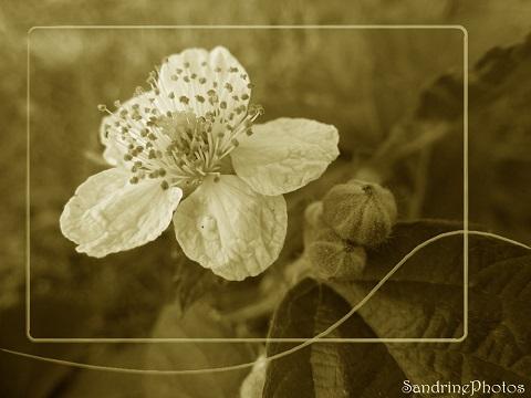 Fleur de ronces blanches, image sépia, fleurs sauvages du Jardin 14 juillet 2013, Bouresse, Poitou-Charentes