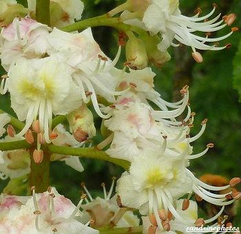 Fleurs de marronnier d`Inde Arbres et arbustes du Poitou-Charentes Bouresse Sandrinephotos