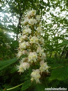 Fleurs en grappe de marronnier d`Inde Arbres et arbustes du Poitou-Charentes Sandrinephotos