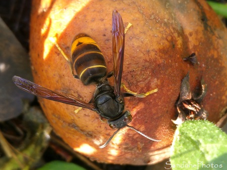 Frelon asiatique, Vespidae, Insectes hyménoptères Le Verger, Bouresse (11)