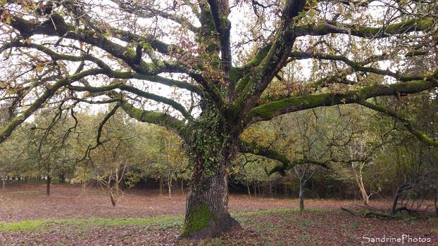 Grand chêne de La Planchette, Queaux, Bords de Vienne 86, 15 novembre 2019 (14)