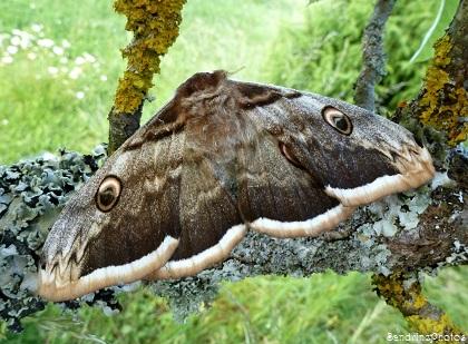 Grand paon de nuit, Saturnia pyri, Papillon de nuit, Bouresse, Poitou-Charentes (2)