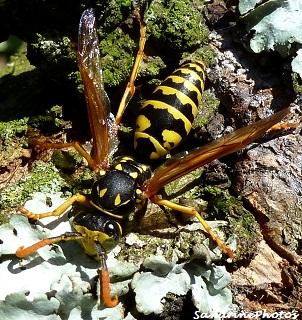 Guêpe Polistes dominula, Poliste gaulois, Insectes, Wasp with orange antennas, Insects, Hymenoptera, Bouresse Poitou-Charentes