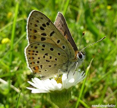 Heodes tityrus Le cuivré fuligineux Papillon de jour Bouresse Poitou-Charentes (2)