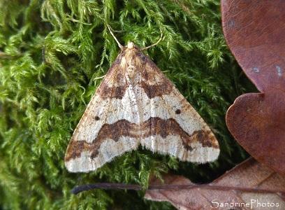 Hibernie défeuillante, Erannis defoliaria, Geometridae, Papillon de nuit, Forêt de Gouex, La Vallée aux chailles, Sud-Vienne 86 (18)