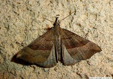 Hypena proboscidalis Noctuelle à museau 09 juin 2012 Papillon de nuit Bouresse Poitou-Charentes (1)