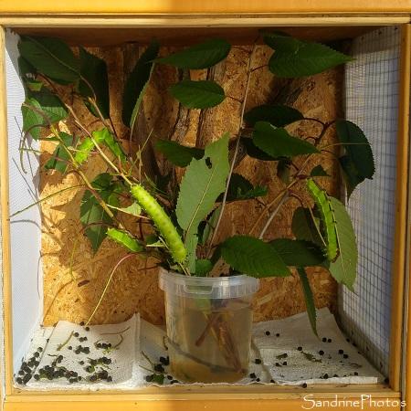 J62- Elevage de Grands paons de nuit, Saturnia Pyri, Saturniidae, papillons de nuit, oeufs, chenilles, cocons (2)