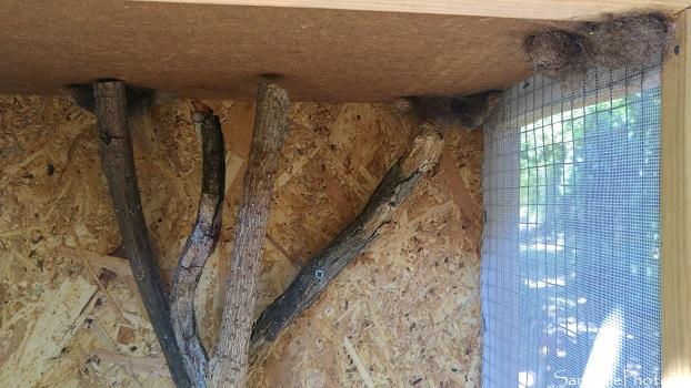 J69, élevage de Grands Paons de nuit, Saturnia pyri, les cocons, oeufs, chenilles, cocons et papillons