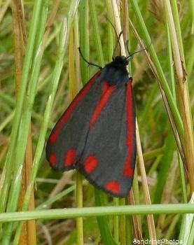 La Goutte de sang, Tyria jacobaeae, Ecaille du sénéçon, Arctiidae, Papillon de nuit, Mothes ans butterflies, Bouresse, Jardin, 28 juin 2013 (18)