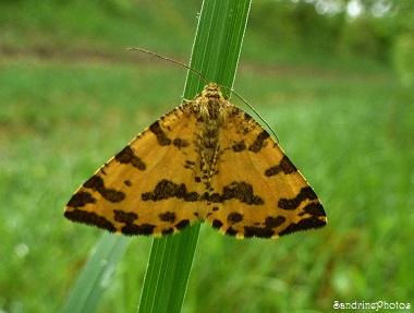 La Panthère, Pseudopanthera macularia, Papillon de nuit, Bouresse, Poitou-Charentes (2)