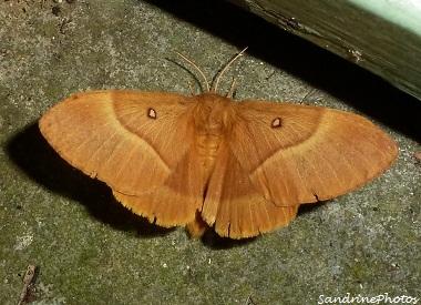 Lasiocampa quercus-Bombyx du chêne-Minime à bandes jaunes- Papillon de nuit-The Oak Eggar moth- 20 aot 2012- Bouresse-Poitou-Charentes (4)