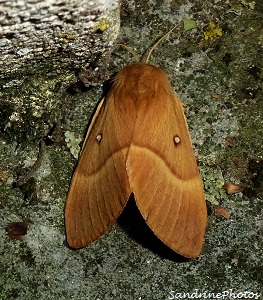 Lasiocampa quercus-Bombyx du chêne-Minime à bandes jaunes- Papillon de nuit-The Oak Eggar moth- Chenille  20 aot 2012- Bouresse-Poitou-Charentes   (3)