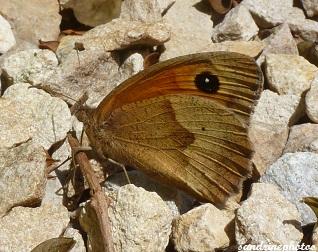 Le Myrtil Maniola jurtina Papillons de jour Bouresse Poitou-Charentes
