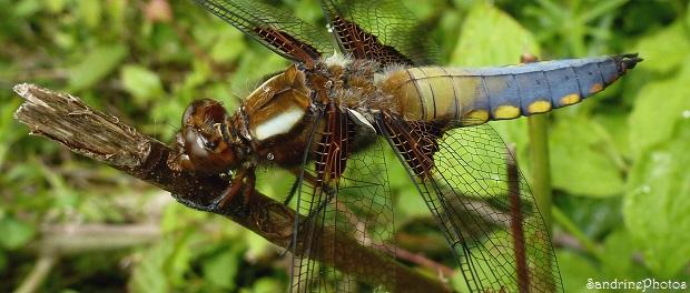 Libellule déprimée, Libellula depressa, Dragonflies, Bouresse, Poitou-Charentes, 25 mai 2013, 86