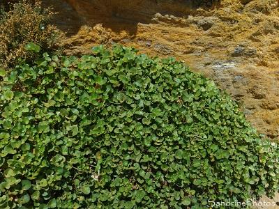 Liseron des dunes, Liseron soldanelle, Convolvulus soldanella, Fleur sauvage rose, Juillet 2019, Plage du Loguy, Pénestin, Loire-Atlantique (1)