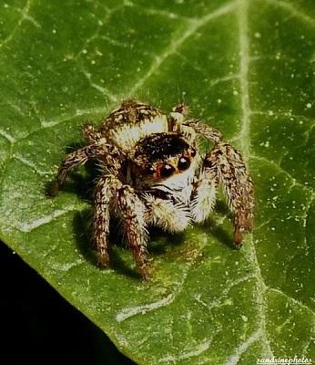 macaroeris nidicolens, araignée sauteuse, salticidae, Bouresse 86