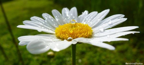 Marguerite, Daisy, fleurs sauvages, Wild flowers, Biodiversité, Bouresse, Poitou-Charentes (1)
