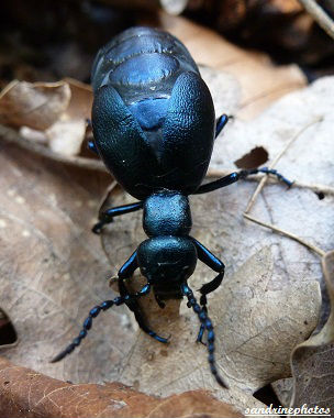 Méloé violacé - Meloe violaceus coléoptères reflets bleu métallique (7)