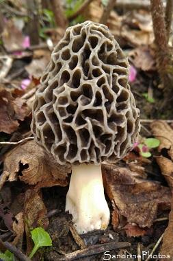 Morille commune, Morchella vulgaris, Champignons du Poitou, Pézizales, Poitiers 86 (8)