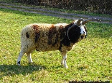 Mouton de Jacob bélier à quatre cornes animaux domestiques