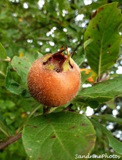 néflier, Mespilus germanica, Arbres fruitiers, Common medlar, fruit tree, Bouresse, Poitou-Charentes (5)