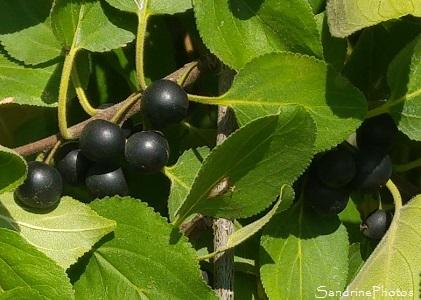 Nerprun purgatif, Nerprun cathartique, Arbres et arbustes, La Quinatière, Bouresse, 86, Poitou-Charentes (1)