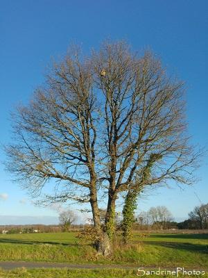 Nid de frelons asiatiques en haut d`un grand chêne, Vespa velutina, Insectes, Vespidae, Route de la Taupelle, Bouresse, Sud Vienne 86 (15)