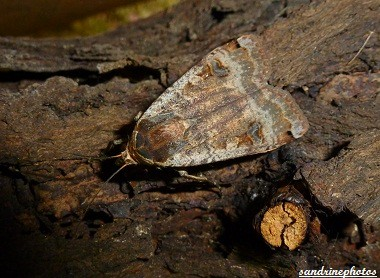 Noctua pronuba Le Hibou- La noctuelle fiancée papillon de nuit 4 juin 2012 Bouresse Poitou-Charentes (1)