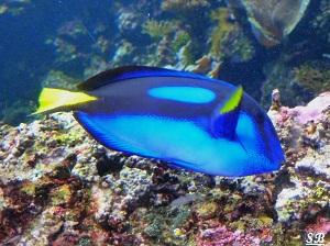 Océanopolis de Brest Aquarium Poisson bleu eaux tropicales ou tempérées Juillet 2012 PF
