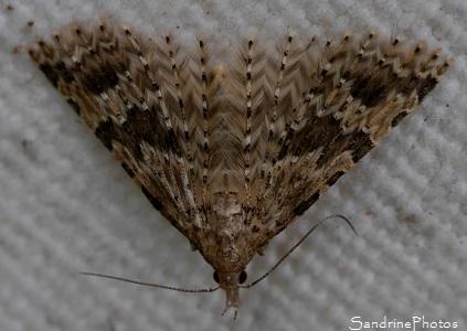 Ornéode du Chèvrefeuille, Alucita hexadactyla, Pterophoridae, Papillon de nuit, Moths and butterflies, Bouresse, Le Verger 86 (9)