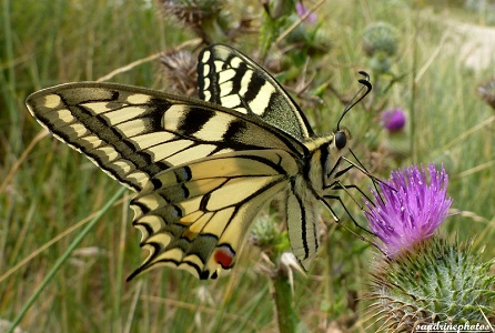 Papilio machaon -Plage de Gâvres Morbihan 17 juillet 2012 SandrinePhotos