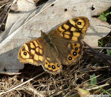 papillon tircis pararge aegeria PF (3)