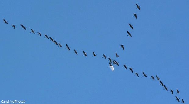 Passage des grues Bouresse, Poitou-Charentes, The cranes flying over Bouresse 18 février 2013, SandrinePhotos