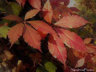 Paysage d`automne, Vigne vierge et ses feuilles rouges, automne, Bouresse, Refuge LPO le Verger, Biodiversité du Sud-Vienne (63)