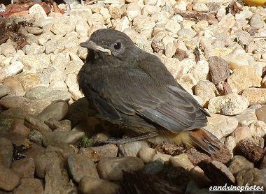 Petit rouge-queue tout juste sorti du nid dimanche 3 juin 2012 Oiseaux de nos jardins Bouresse Poitou-Charentes