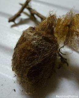 Petits paons de nuit-Saturnia pavonia-Intérieur et extérieur d`un cocon de chenille- The inside of a Saturnia pavonia`s cocoon, Bouresse, Poitou-charentes, 12 avril 2013 (8)