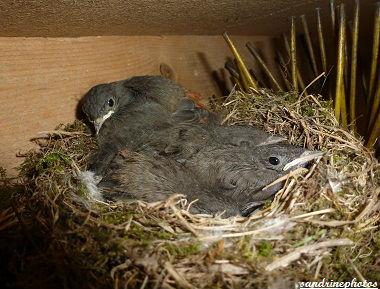 Petits rouge-queues dans leur nid Juin 2012 Oiseaux de nos jardins Bouresse Poitou-Charentes