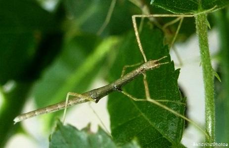 Phasme vietnamien juvénile, Insectes, Bouresse, Poitou-Charentes 2013