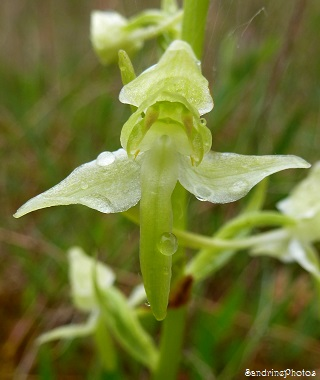 Platanthera chlorantha, Orchis verdâtre, Orchidées sauvages, Wild orchids, Bouresse, Poitou-Charentes, France, 09 mai 2013 (32)