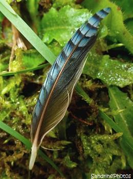 Plume de geai des chênes, oiseaux aux plumes bleues Jay`s blue feathers, birds, Jardin, Bouresse, SandrinePhotos
