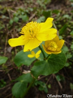 Populage des marais, Caltha palustris, Fleur sauvage jaune sur terrain très humide, Renonculacées, Yellow wild flower on very wet ground, Bouresse, Poitou-Charentes, France