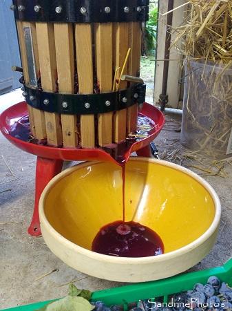 Pressage et pasteurisation du jus de Baco, raisin variété ancienne, Le Verger, Bouresse, Sud-Vienne (6)