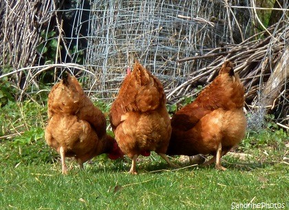 Quand trois poules vont au champ...Animaux de la ferme, Bassecour, Three red hens in a field, Animals of the farm, Bouresse, Poitou-Charentes