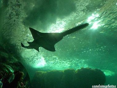 Requin scie Océanopolis de Brest Juillet 2012 (70)