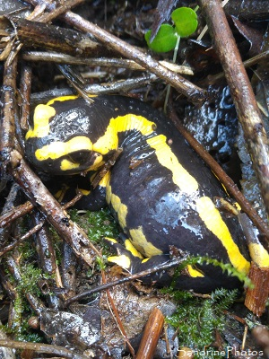 Salamandre tachetée, Salamandra salamandra, Urodèles, Salamandridae, Refuge LPO La Planchette, Queaux (12)