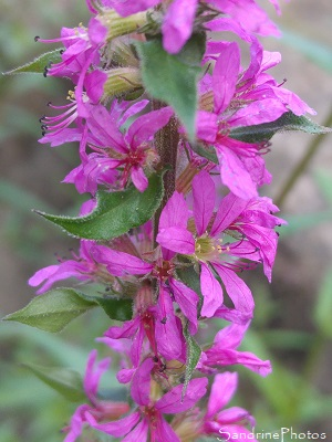 Salicaire, Lythrum salicaria, Fleurs sauvages des marais de Brière, loire-Atlantique (11)