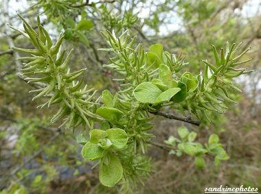 sauline chatons Avril 2012 Arbres et arbustes du Poitou-Charentes