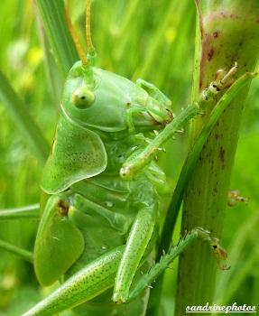 sauterelle verte orthoptères insectes du Poitou-Charentes Bouresse